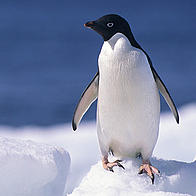 A penguin perched on an iceberg, Antartica