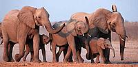 African elephant, Loxodonta africana, family group running. Etosha National park, Namibia