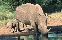 Southern White rhinoceros. Adult and calf at water way.