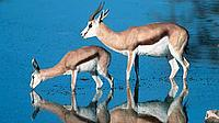 Springbok, drinking at water hole. Etosha National Park, Namibia