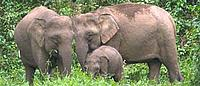 Bornean Pygmy elephants © WWF-Canon / A. Christy WILLIAMS