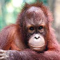 Bornean orang-utan  © WWF / WWF-Malaysia/Cede Prudente