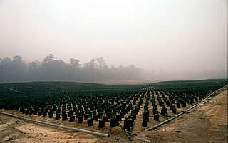 Palm oil saplings in the smoke from land clearance forests fires. Riau province, Sumatra, Indonesia
