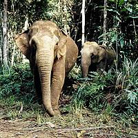 Asian elephants in rain forest. Malaysia