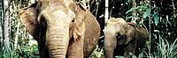 Asian elephant, mother and young calf