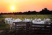 Photo of cows in a farm, Acre