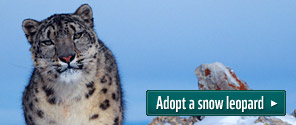 Adopt a snow leopard