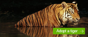 Adopt a Tiger