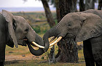 Two young African elephant bulls play fighting, Amboseli National Park, Kenya