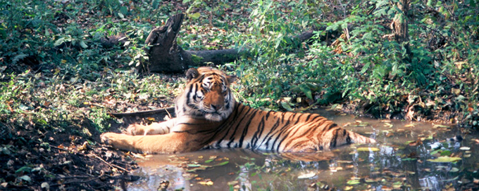 Amur tiger  resting in a water puddle in the forest near Khor river. Amur region.