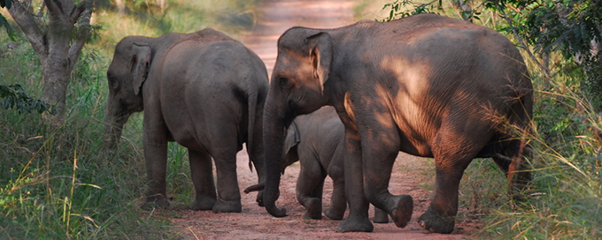 Wild asian elephants