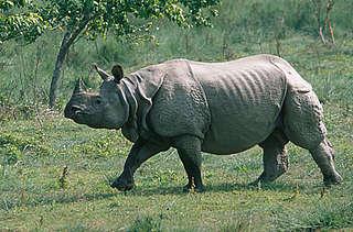 Asian rhinoceros population erotic massage!