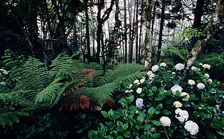 Hortensia in the Atlantic rainforest