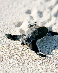 Baby turtles hatch on Juani Island.