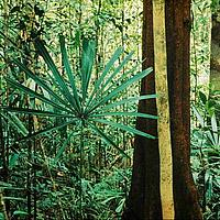 Fan palm. Lowland rain forest. Borneo.