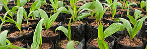 Palm oil seedlings.