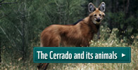 Maned wolf - The Cerrado