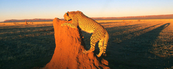 Cheetah On the plains of Namibian