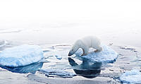 Ursus maritimus Polar bear on pack ice Arctic circle, Russian Federation