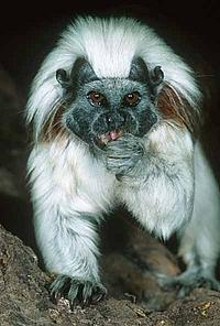 Cotton-top tamarin, Colombia