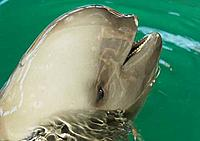 Finless or Yangtze river porpoise
