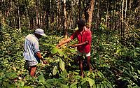 Growing Cupuacu fruit, an alternative to shifting cultivation, a main cause of deforestation, Brazil