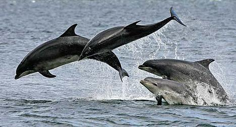 A pod of bottlenose dolphin