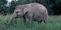 Young Sumatran elephant in fields, Sumatra