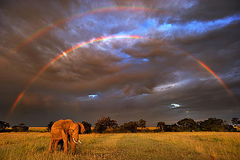 African elephant with double rainbow in the Masai Mara, Kenya.