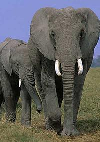 African savannah elephants