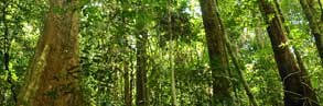 Forest, West Kalimantan, Borneo