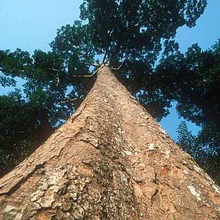 African mahogany , Entandrophragma cylindricum. Trees such as this one are a major source of African mahogany, an important commercial logging species of Central Africa.