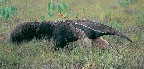 Giant anteater (Myrmecophaga tridactyla). Threatened, The giant anteater eats ants and termites in vast quantities, sometimes up to 30,000 insects in a single day. It is found in the Cerrado, Brazil.