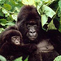 Gorilla gorilla Mountain gorilla mother and baby