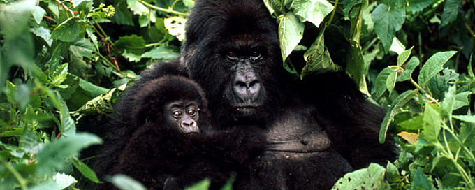 Mountain gorilla with baby in Rwanda