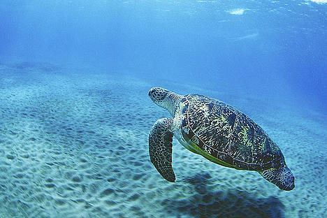 Green turtle swimming.