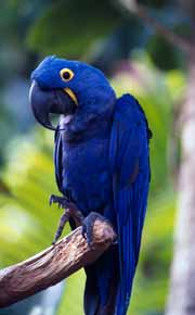 Hyacinth macaw  WWF-Canon/Roger LEGUEN