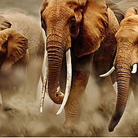 A herd of elephants, Africa