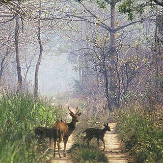 Deer on a road though a forest in Chitwan National Park, Nepal
