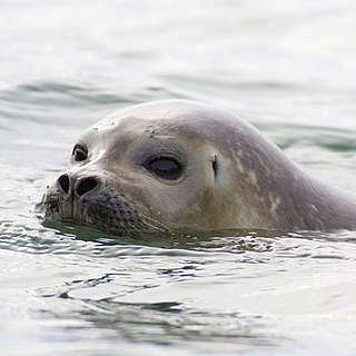 Ringseal swimming in Arctic waters