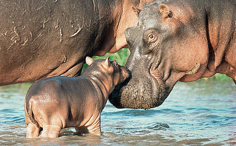 Hippo and calf.