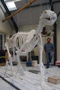 Ice Bear plaster skeleton © The Ice Bear Project Ltd
