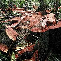 Illegal logging in lowland forest