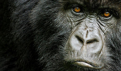 Mountain gorilla in the Virunga National Park, DRC.