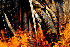 Ivory being burnt in Gabon, preventing it reaching the illegal trade