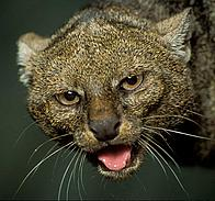 Jaguarundi (Herpailurus yagouaroundi). Close up of head.