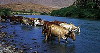 Cattle watering in the Kunene River
