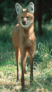 Maned Wolf (Chrysocyon brachyurus), South America