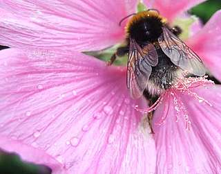 Bee on a pink geranium