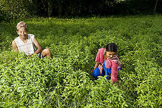 Ram Swarup and grandaughter weeding a crop of Menthol